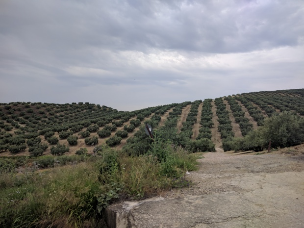 Uliveti Andalusia