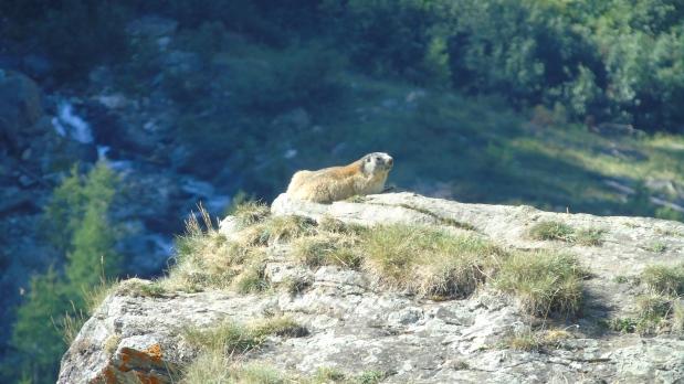 Marmotte Gran Paradiso