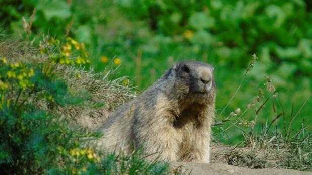Marmotta da vicino