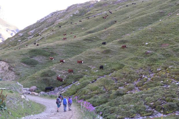 Mucche al pascolo in alta montagna